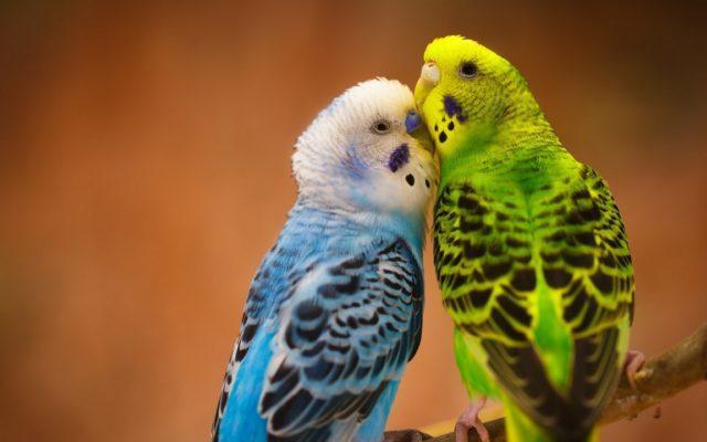 волнистые попугаи уход и содержание