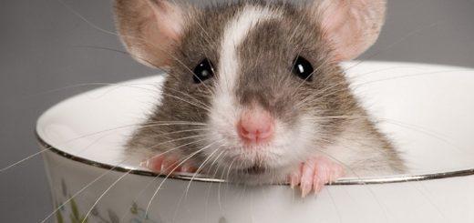 заводить ли крысу