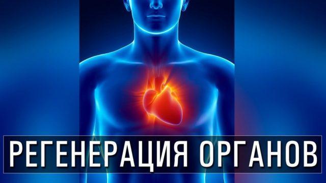 регенерация внутренних органов человека