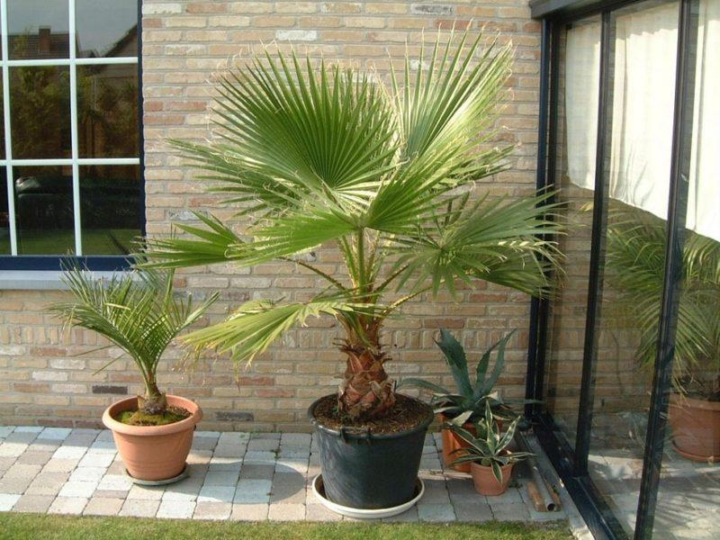 как вырастить пальму