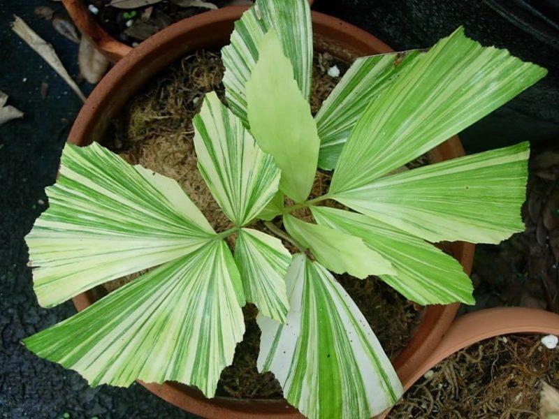 кариота пальма дома