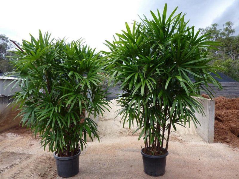 рапис пальма дома
