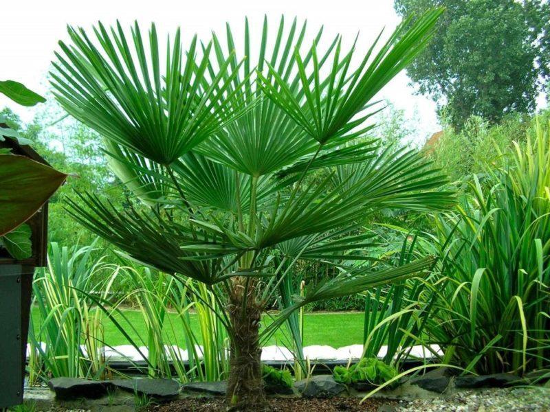 трахикарпус пальма дома