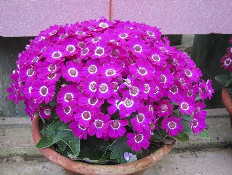 первоцвет комнатный цветок