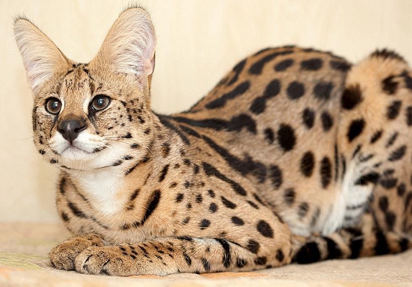 саванна-кошка